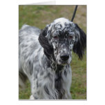 Adorable Black and White English Setter